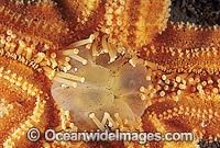 Northern Pacific Sea Star Asterias amurensis Photo - Gary Bell