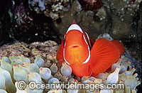 Spine-cheek Clownfish Photo - Gary Bell
