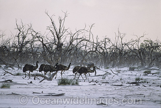 Flock of Emus (Dromaius novaehollandiae) walking through sand storm. Kinchega National Park, Menindee, New South Wales, Australia Photo - Gary Bell