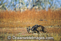 Pair of Emus Dromaius novaehollandiae Photo - Gary Bell