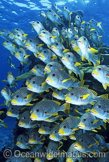 Schooling Diagonal-banded Sweetlips (Plectorhinchus lineatus). Great Barrier Reef, Queensland, Australia Photo - Gary Bell