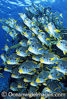 Diagonal-banded Sweetlips Plectorhinchus lineatus photo