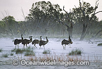 Flock of Emus in sand storm Photo - Gary Bell