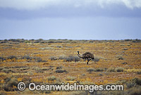 Emu on a desert plain Photo - Gary Bell