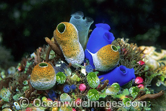Cluster of colourful Sea Tunicates. Blue Tunicate (Rhopalaea sp.), Rust Tunicate (Atriolum robustum). Also known as Ascidians and Sea Squirts. Bali, Indonesia