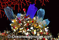 Cluster of colourful Sea Tunicates. Blue Tunicate (Rhopalaea sp.) 4cm, Strawberry Tunicate (Didemnum cf. moseleyi) 5mm. Also known as Ascidians and Sea Squirts. Bali, Indonesia Photo: Gary Bell