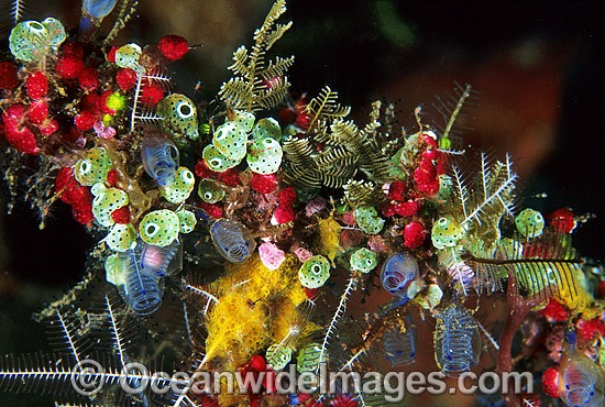 Ascidians with Strawberry Tunicate photo