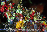 Ascidians with Strawberry Tunicate Photo - Gary Bell