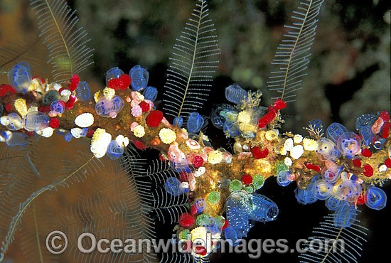 Cluster of colourful Sea Tunicates. Strawberry Tunicates (Didemnum cf. moseleyi), Black Spotter Tunicate (Clavelina moluccensis) and Stinging Hydroids. Also known as Ascidians and Sea Squirts. Bali, Indonesia Photo - Gary Bell