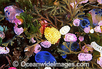 Sea Squirts and Blue Tunicate Photo - Gary Bell