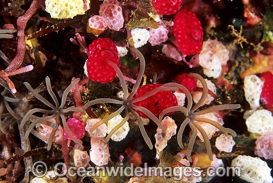 Cluster of Strawberry Tunicates (Didemnum cf. moseleyi) 5mm and Soft Coral Polyps. Also known as Ascidians and Sea Squirts. Bali, Indonesia