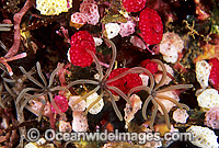 Ascidians and Strawberry Tunicate Photo - Gary Bell