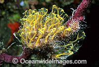 Sea Tunicates Ascidians Photo - Gary Bell