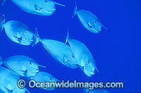 Long-nosed Unicornfish Naso brevirostris image