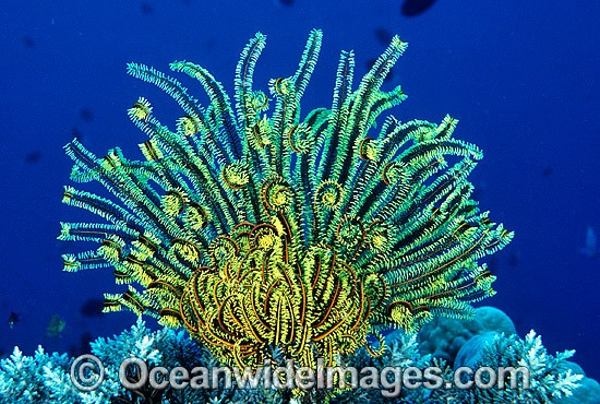Feather Star (Comantheria sp.). Also known as Crinoid. Great Barrier Reef, Queensland, Australia