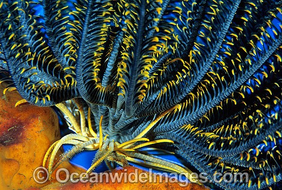 Feather Star (Oxycomanthus sp.). Also known as Crinoid. Bali, Indonesia Photo - Gary Bell
