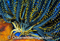 Feather Star Photo - Gary Bell