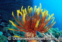 Feather Star Crinoid Photo - Gary Bell