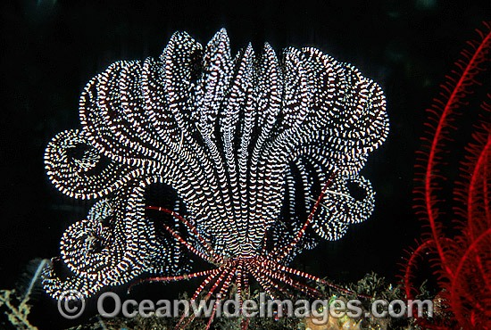 Feather Star (Oxymetra sp.?). Also known as Crinoid. Bali, Indonesia