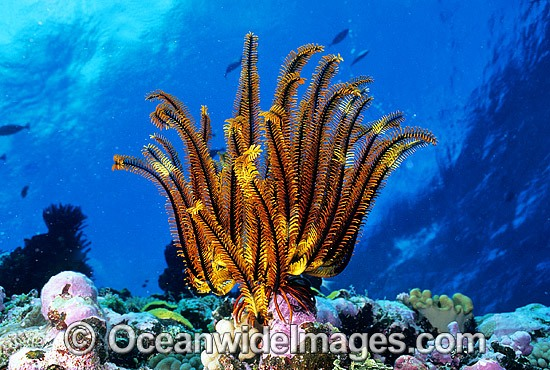 Feather Star (Oxycomanthus sp.). Also known as Crinoid. Great Barrier Reef, Queensland, Australia