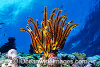 Feather Star photo