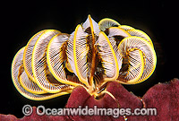 Feather Star on sponge Photo - Gary Bell