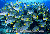 Schooling Sweetlips Photo - Gary Bell
