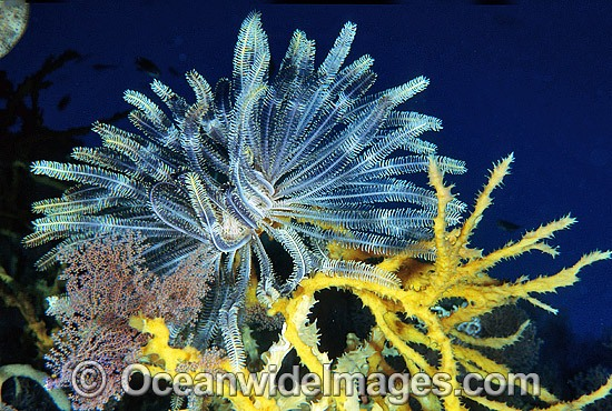Feather Star on sponge photo