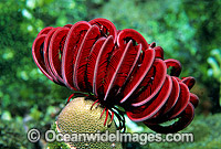 Feather Star Himerometra robustipinna photo