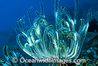 Crinoid Comantheria sp. Photo - Gary Bell