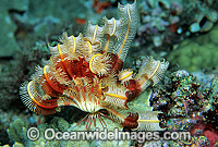 Crinoid Lamprometra sp. Photo - Gary Bell