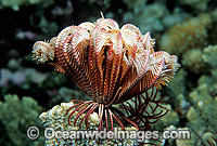 Feather Star Lamprometra sp. Photo - Gary Bell