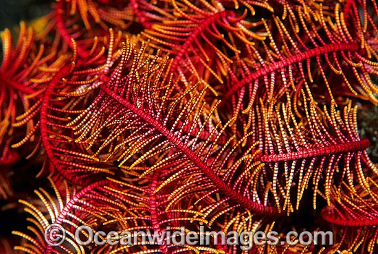 Close detail of Crinoid Feather Star (Comaster multibrachiatus) feeding arms. Also known as Crinoid. Bali, Indonesia