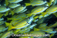 Blue-striped Snapper Lutjanus kasmira Photo - Gary Bell
