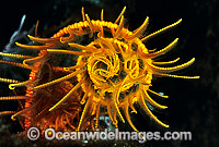 Feather Star feeding arm Photo - Gary Bell
