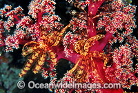 Feather Star on Soft Coral photo