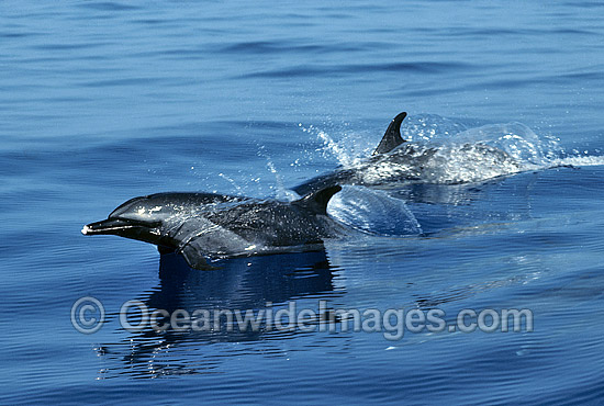 Pod of Short-beaked Common Dolphin (Delphinus delphis). Indo-Pacific