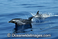 Pod of Short-beaked Common Dolphin photo