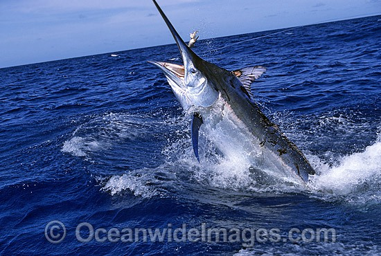 Black Marlin (Makaira indica) breaching on surface after taking a bait. Also known as Billfish. Great Barrier Reef, Queensland, Australia Photo - John Ashley