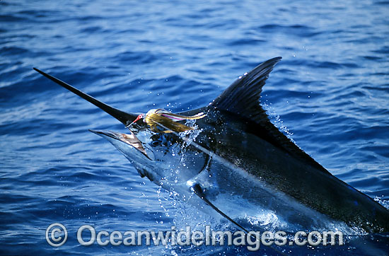 Indo-Pacific Blue Marlin (Makaira mazara) breaching on surface after taking a bait. Also known as Billfish. Great Barrier Reef, Queensland, Australia