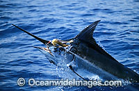 Indo-Pacific Blue Marlin Makaira mazara Photo - John Ashley