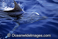 Black Marlin Billfish Makaira indica gliding beneath surface image