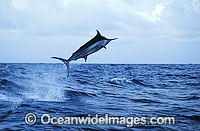 Black Marlin Makaira indica breaching photo
