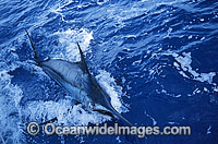 Blue Marlin Makaira mazara Billfish Photo - John Ashley
