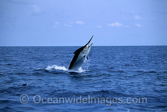 Black Marlin Billfish Makaira indica breaching photo