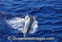 Black Marlin Makaira indica Billfish Photo - John Ashley