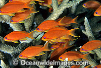 Orange Fairy Basslets and Coral photo