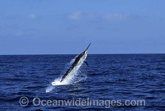 Black Marlin (Makaira indica) breaching on surface after taking a bait. Also known as Billfish. Great Barrier Reef, Queensland, Australia