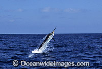 Black Marlin Billfish Makaira indica after taking a bait Photo - John Ashley