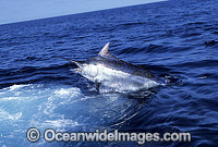 Black Marlin Makaira indica after taking a bait Billfish Photo - John Ashley
